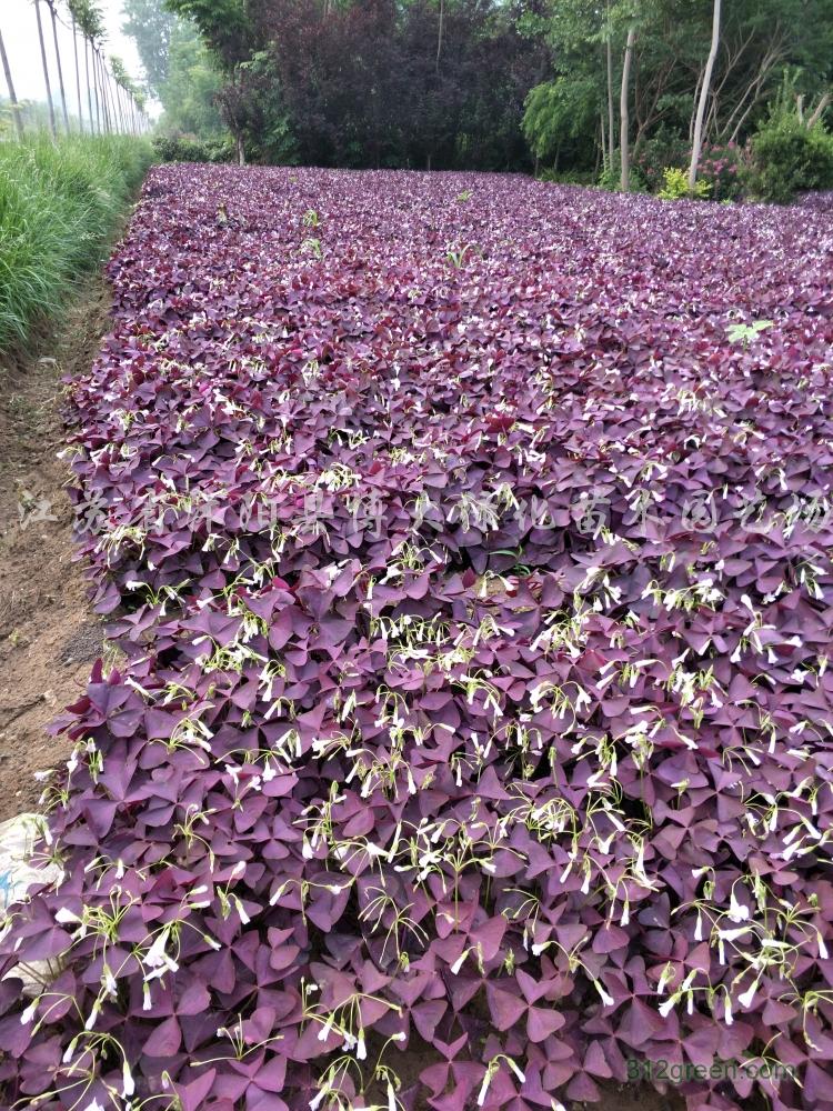 供应紫叶酢浆草、青叶红花酢浆草、德国鸢尾、玉簪、葱兰