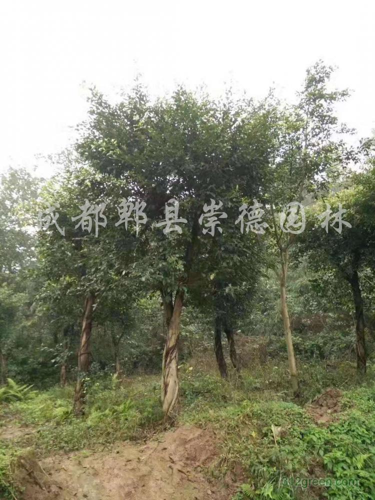 供应小叶榕10-15公分