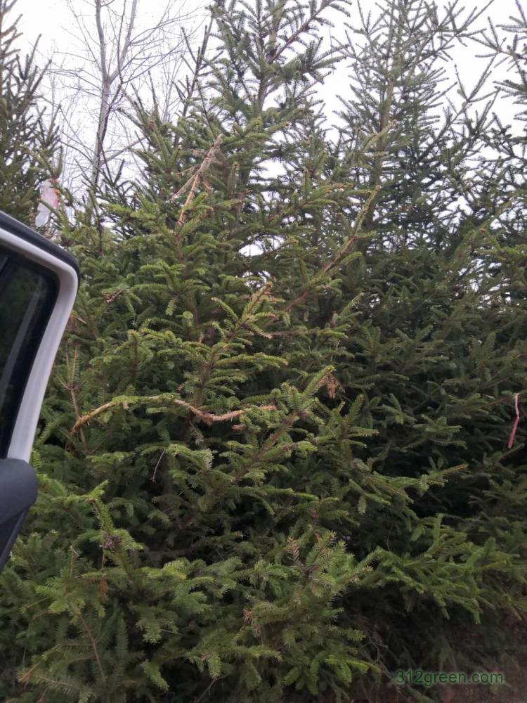 供应云杉高1-4米水杉