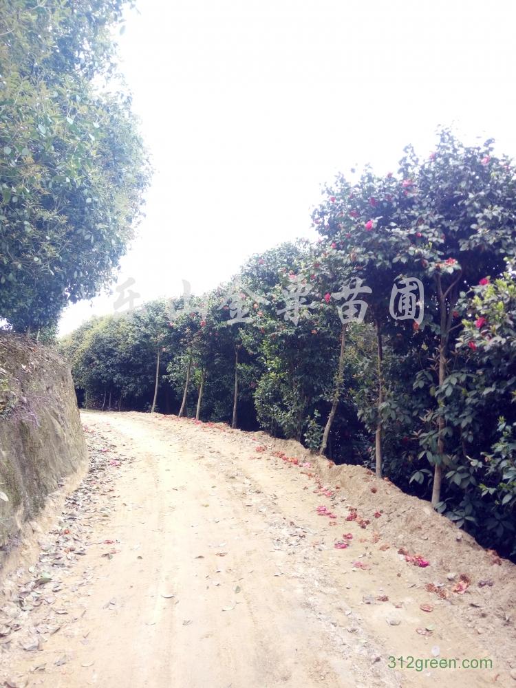 供应米径7公分高杆茶花