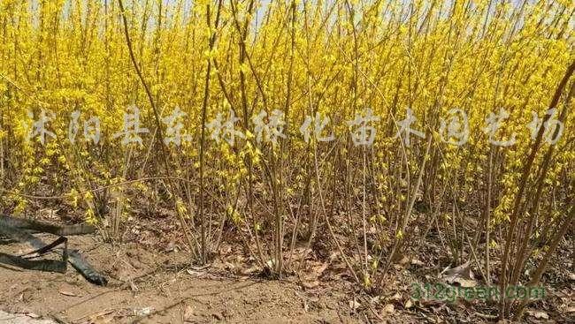 供应小叶女贞、连翘、丰花月季、小叶黄杨、龙柏