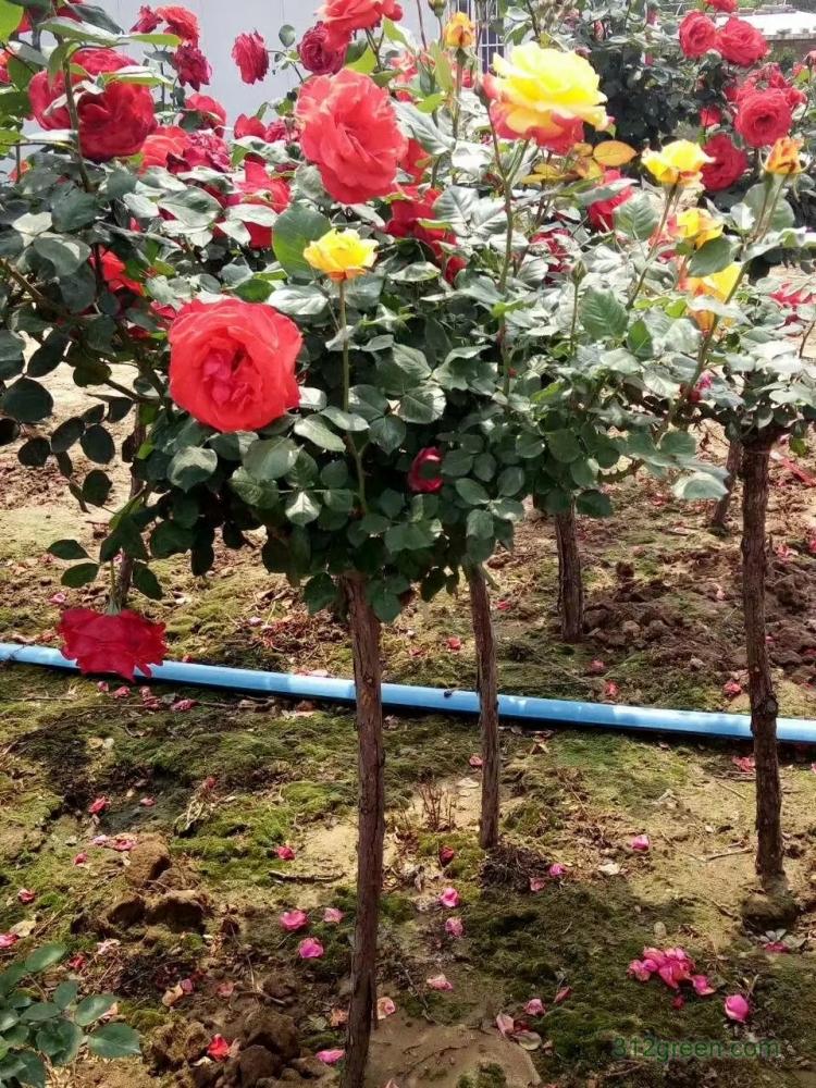 供2公分树桩月季、树状月季、高杆月季、独杆月季树