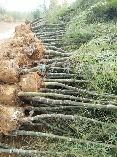 供应龟甲竹