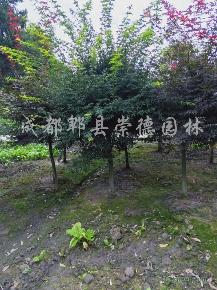 供应鸡爪槭