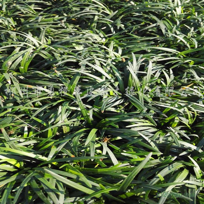 供应日本矮麦冬