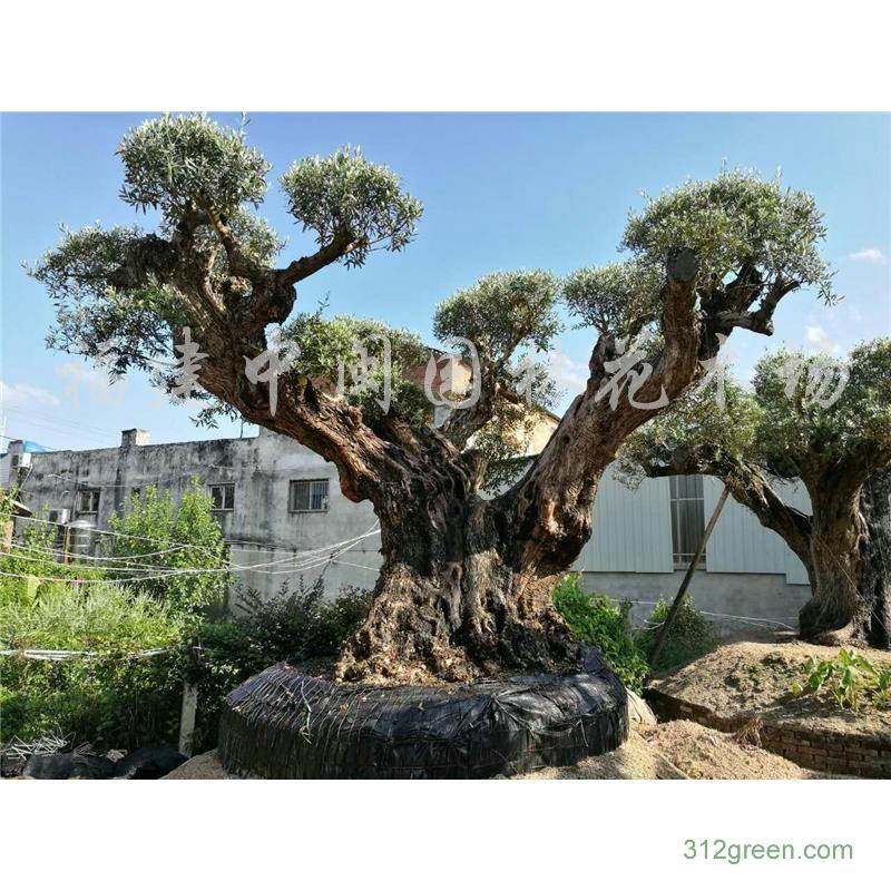 供应橄榄树树桩90-120公分胸径造型百年树桩