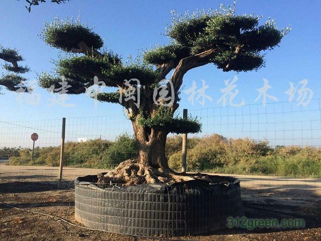 供应橄榄树树桩130-180分胸径造型百年树桩