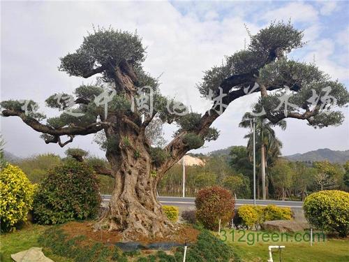 供应橄榄树树桩30-80公分胸径造型百年树桩