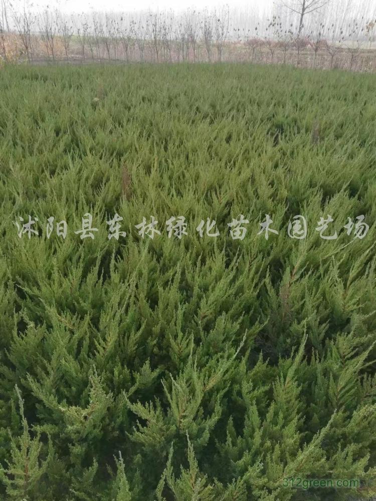 供应小叶黄杨、大叶黄杨、龙柏、蜀桧、卫矛、连翘