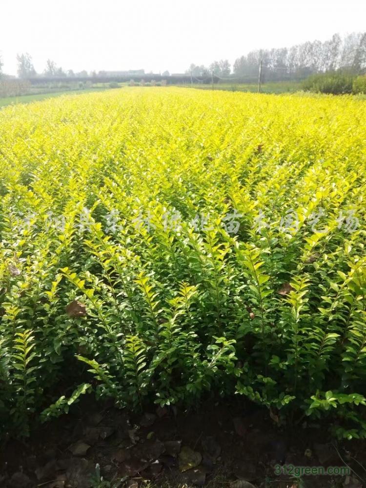 供应大小叶黄杨、龙柏、红叶石楠、金叶女贞、紫薇