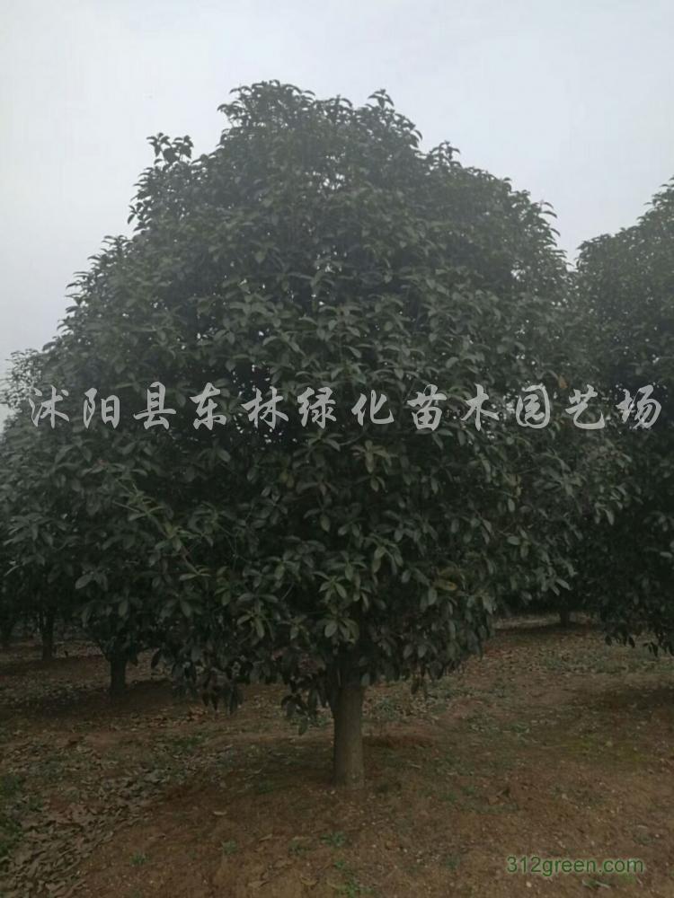 供应桂花、西府海棠、大叶女贞、樱花、银杏、木槿