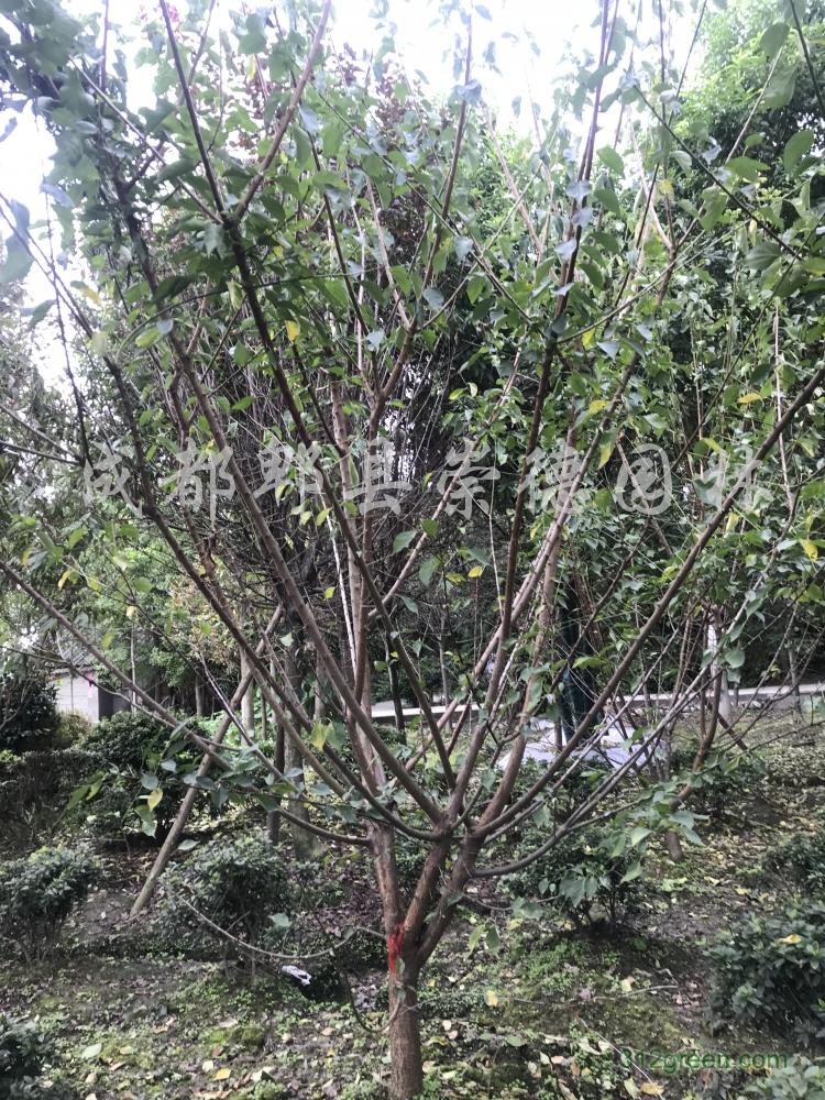 供应低分枝8-12公分红梅
