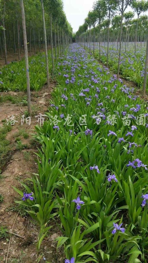 供应鸢尾、扁竹、紫花鸢尾