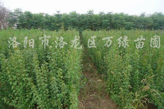 供应高度10到100公分三角枫苗、三角枫小苗
