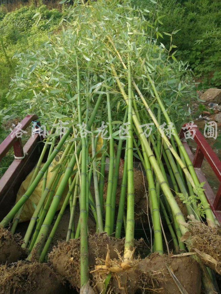 供应各种类型竹子、1-5米、1-3公分竹子