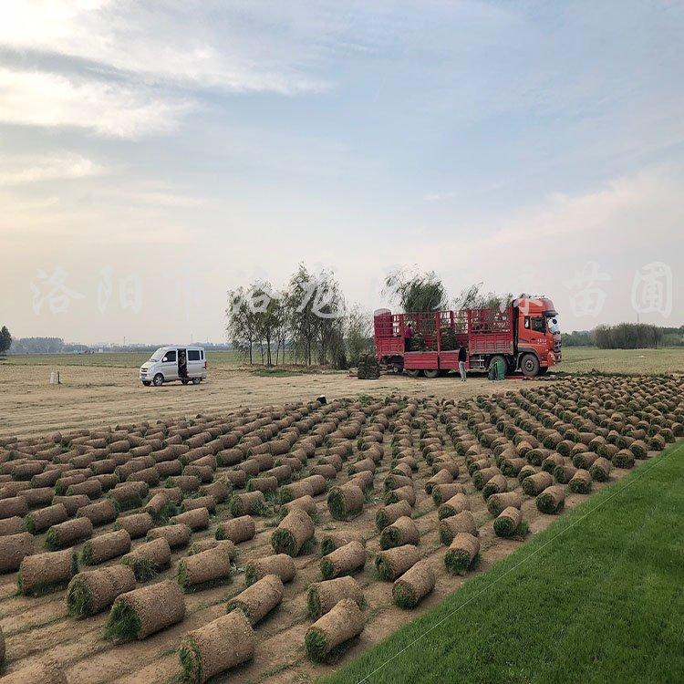 供应优质草坪、马尼拉、果岭草、早熟禾、其他混播草