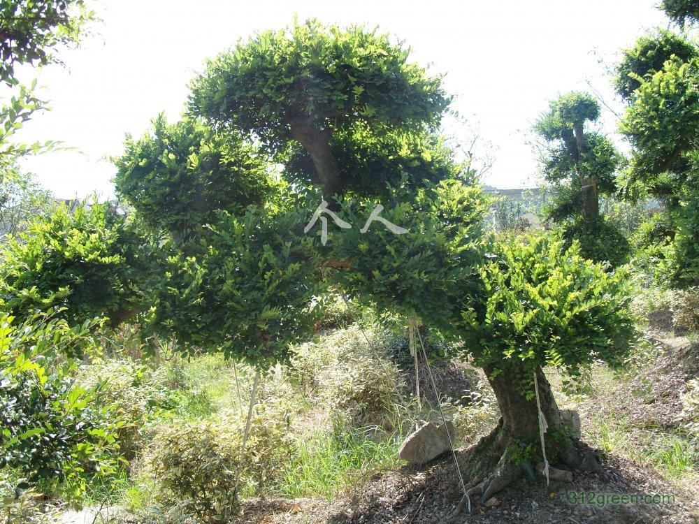 供应造型小叶榆树