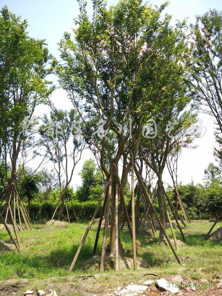 供应单杆朴树、丛生朴树
