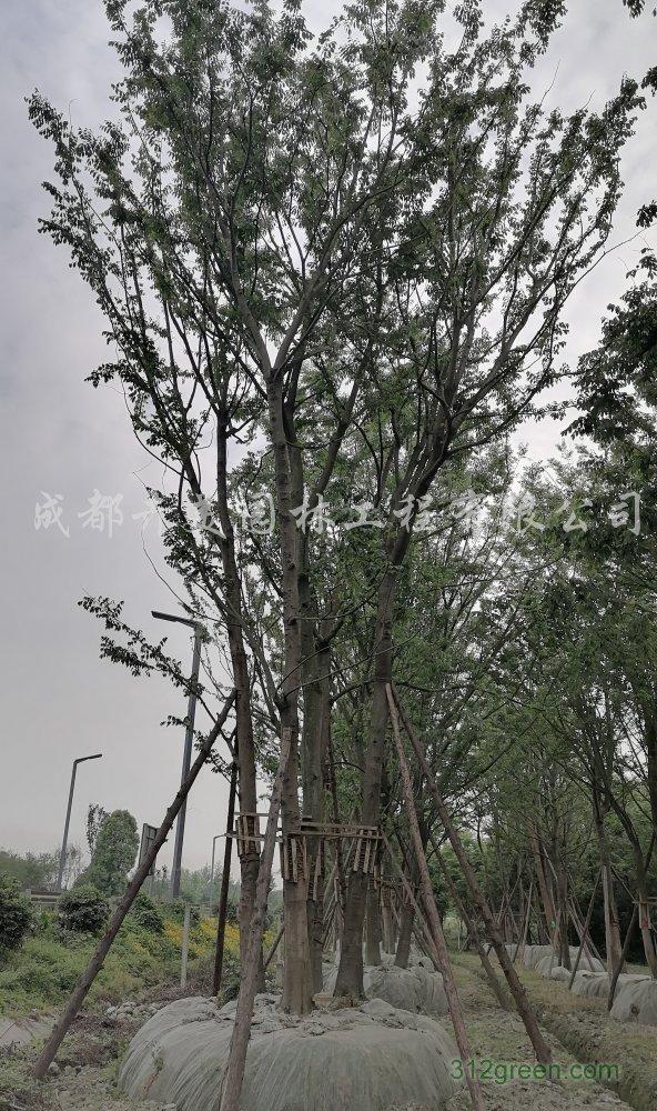 供应25-35公分丛生朴树