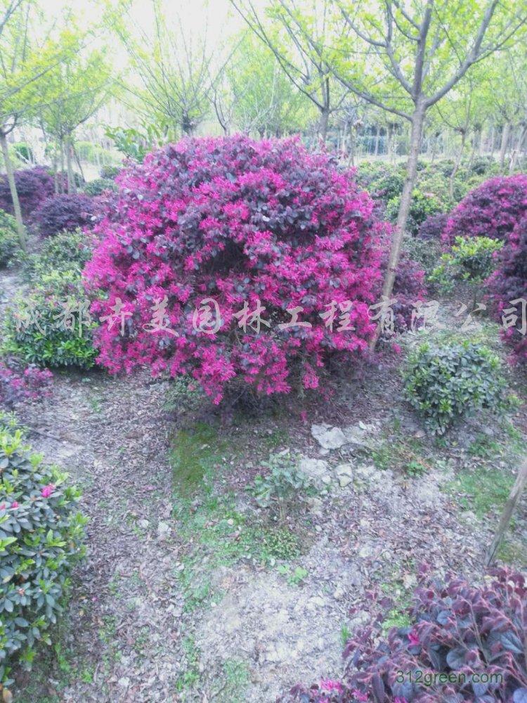供应高70-120厘米、冠幅70-120厘米红继木
