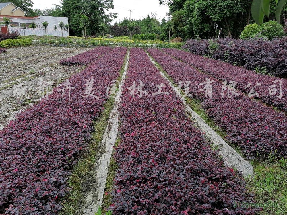 供应15-30厘米红继木杯苗