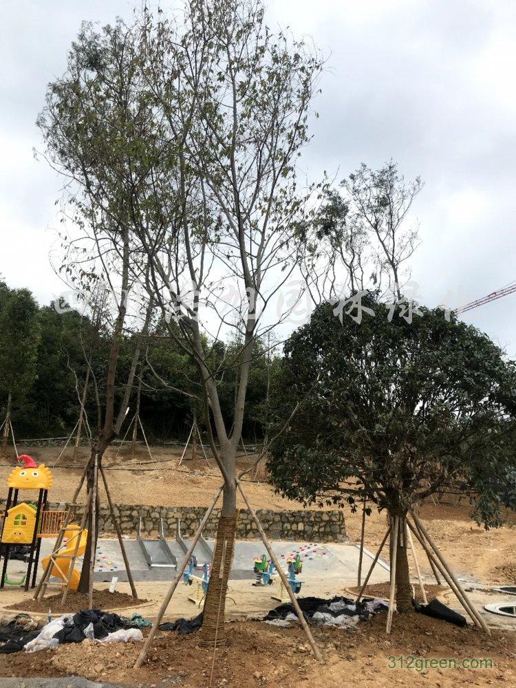 供应各种规格朴树
