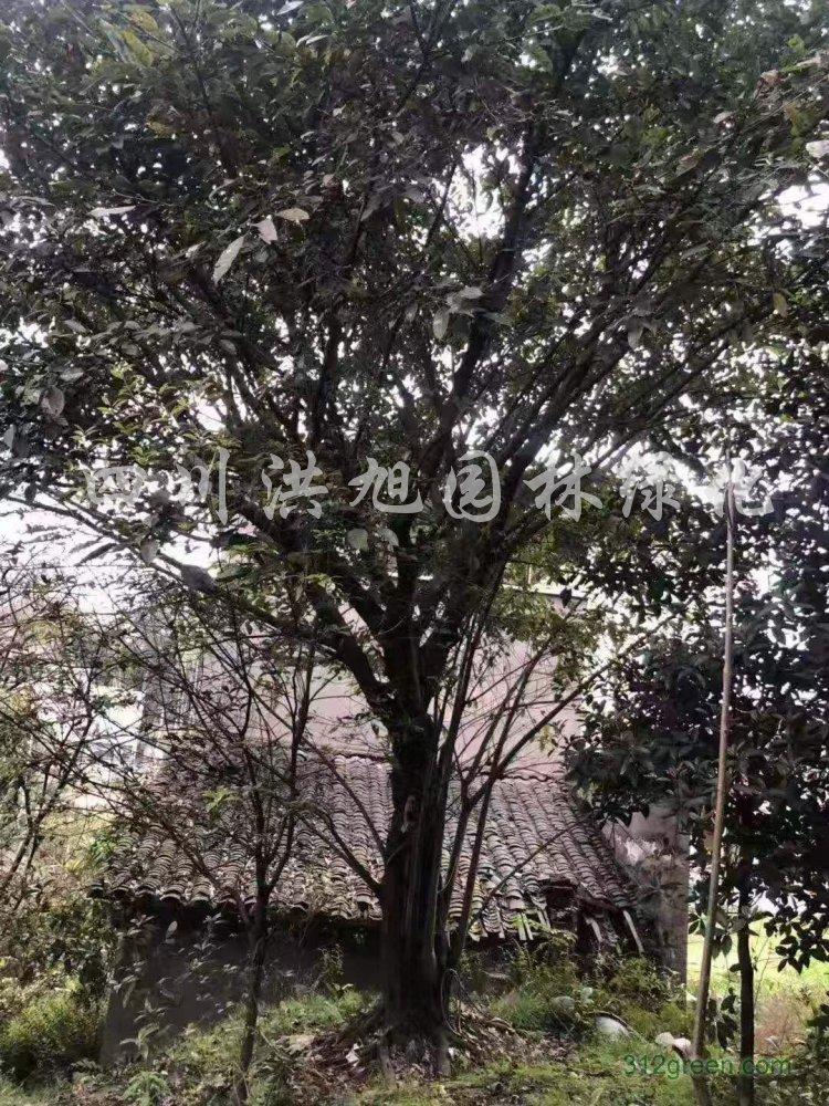 供应各种规格黄葛树
