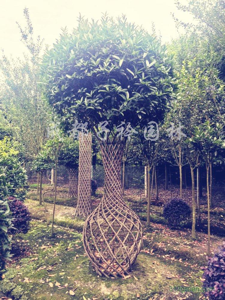 供应桂花造型树