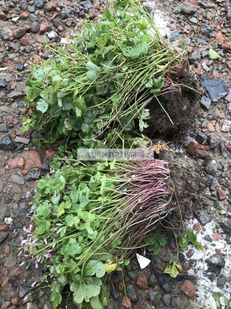 供应H15红花酢浆草