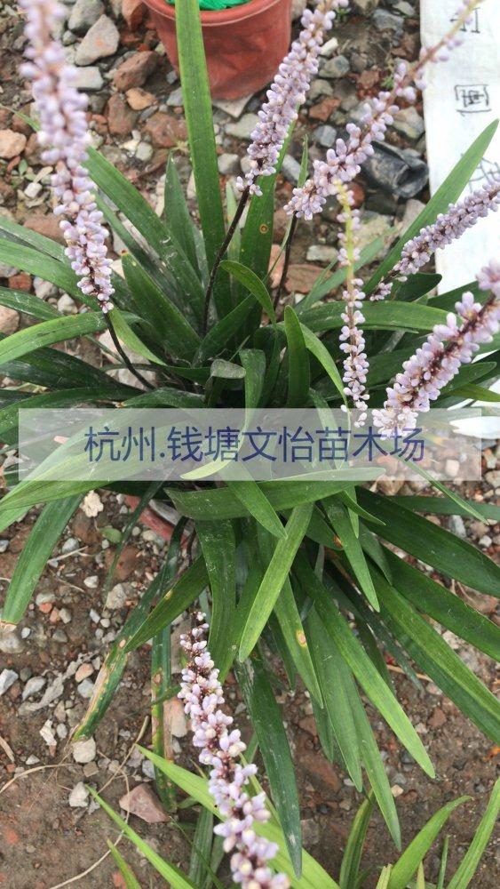 供应H35阔叶麦冬