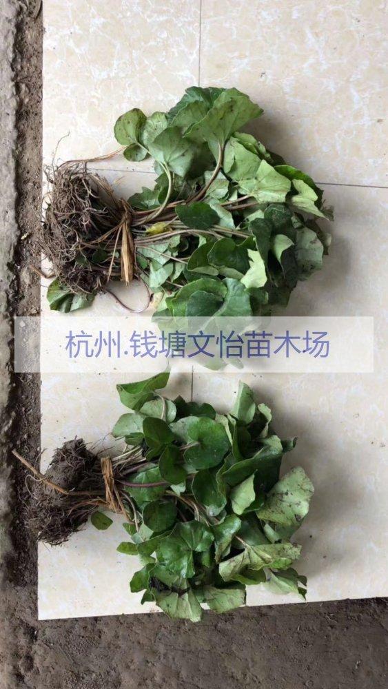 供应H20吴风草