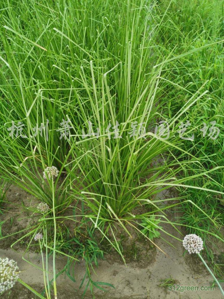 供应香根草