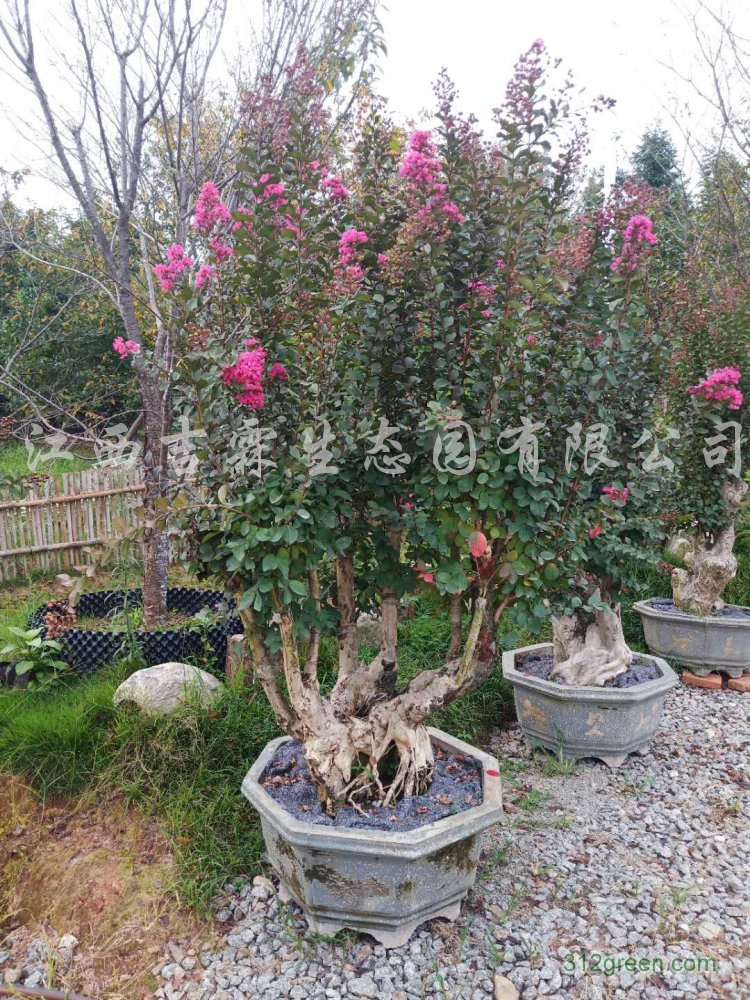 供应紫薇树桩