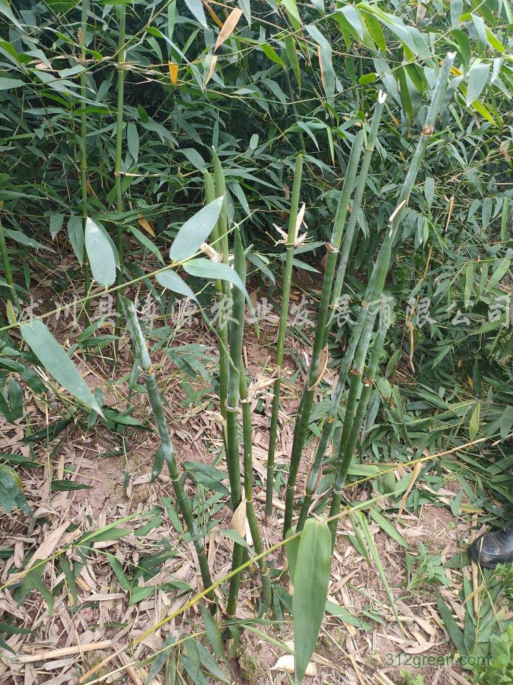 供应巨黄竹