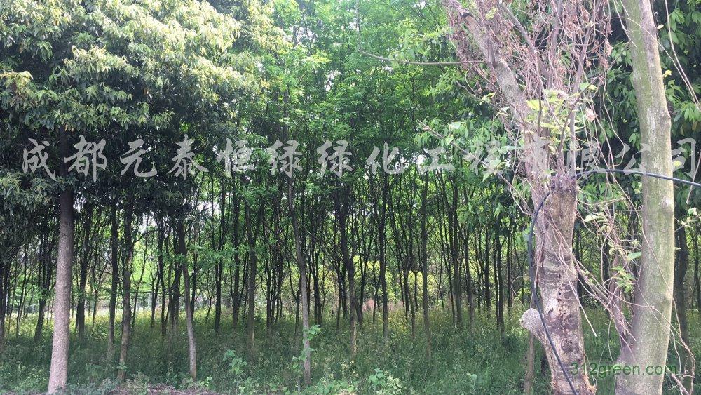 供应10cm-45cm精品皂角树