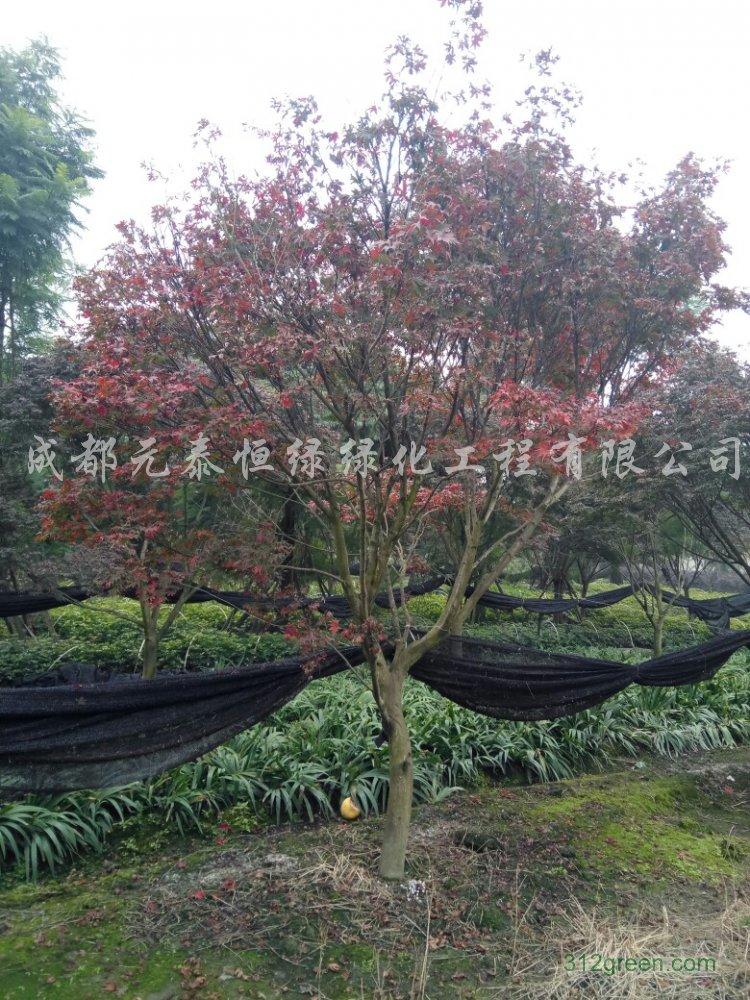 供应3cm-15cm红枫