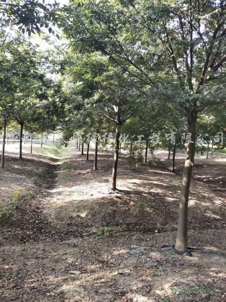 供应10cm-25cm榉树