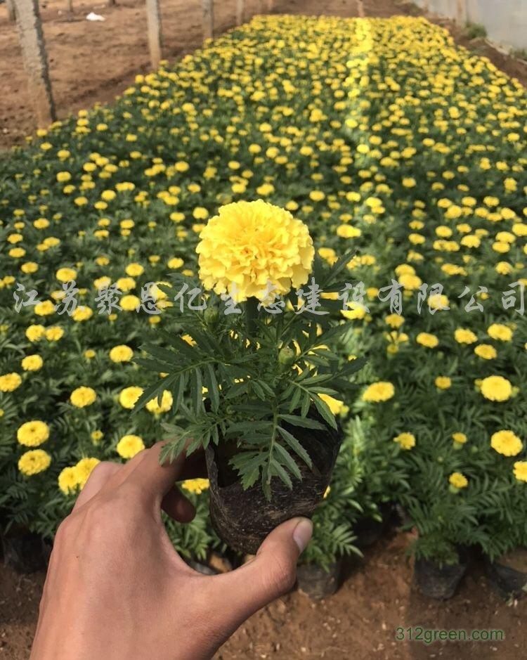 供应万寿菊、迎春花、毛鹃等绿化工程苗