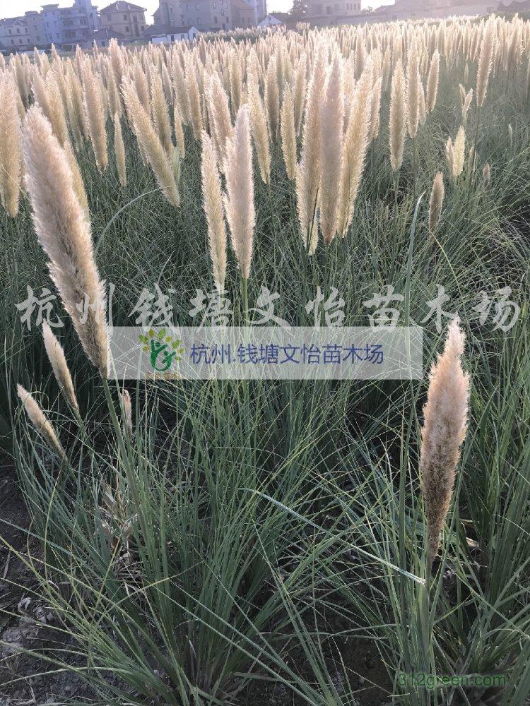 供应花叶蒲苇、矮蒲苇、蒲苇-产地供应