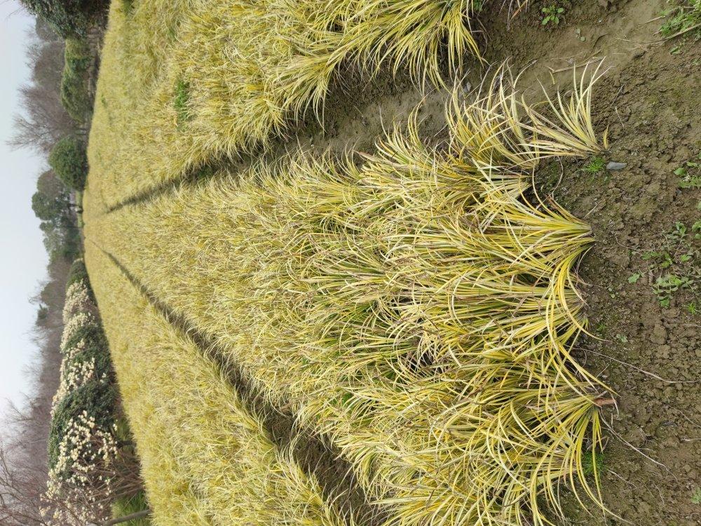 供应金叶苔草