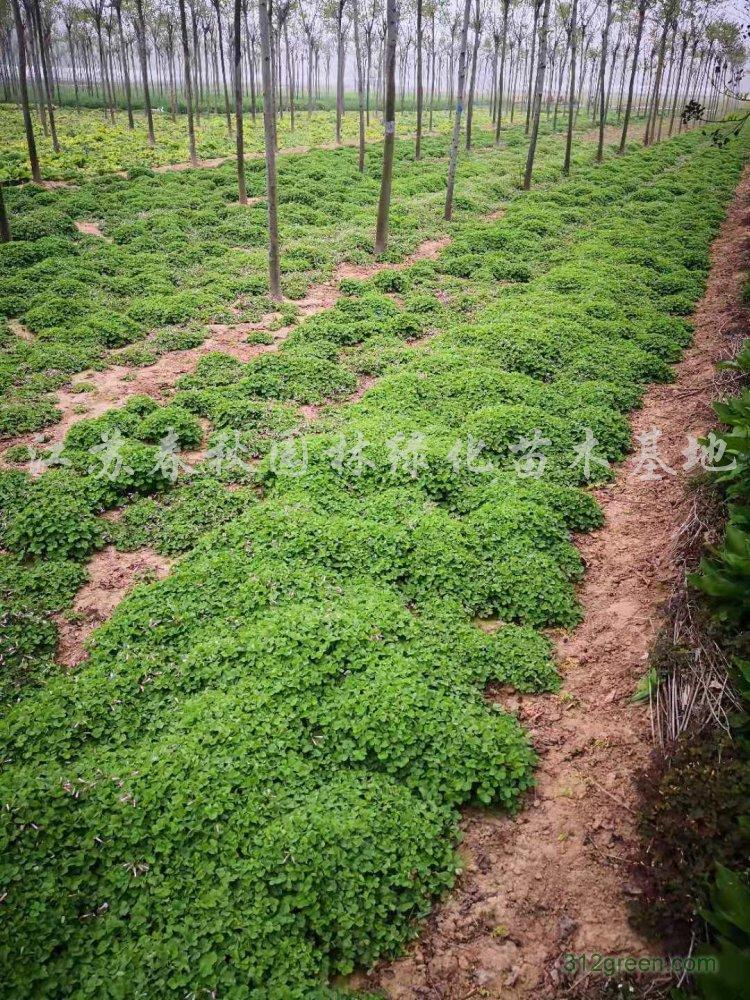 供应红花醡酱草