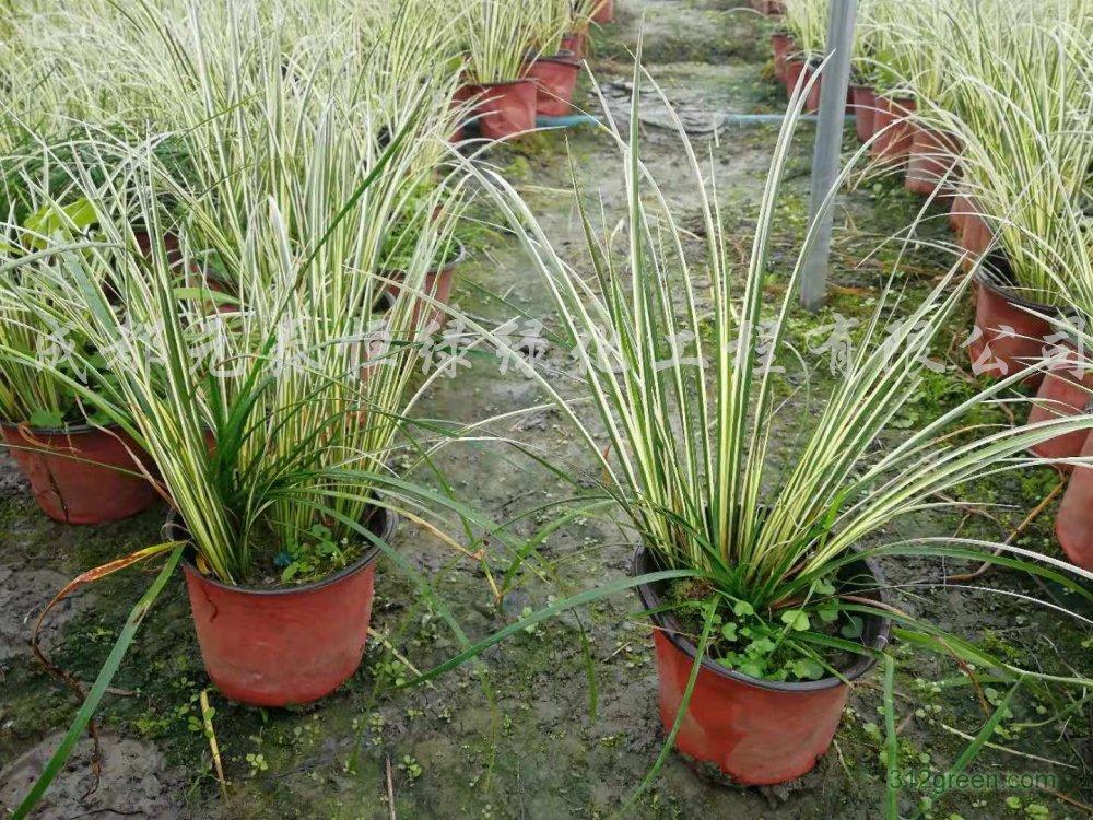 供应金叶菖蒲水生植物、地被苗木