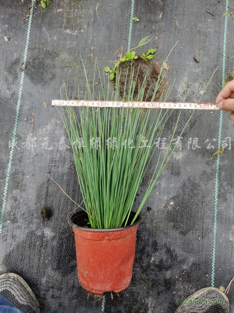 供应灯芯草水生植物、地被苗木