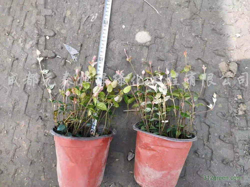 供应花叶络石水生植物、地被苗木