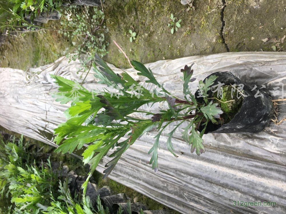 供应木春菊水生植物、地被苗木