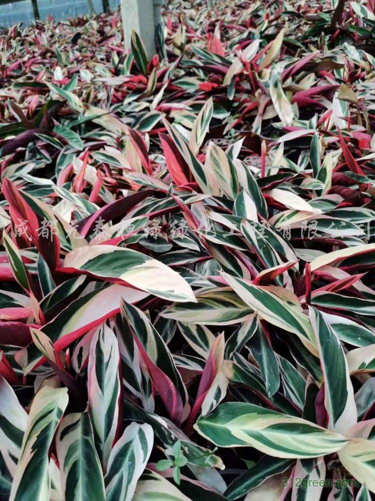 供应七彩竹芋水生植物、地被苗木