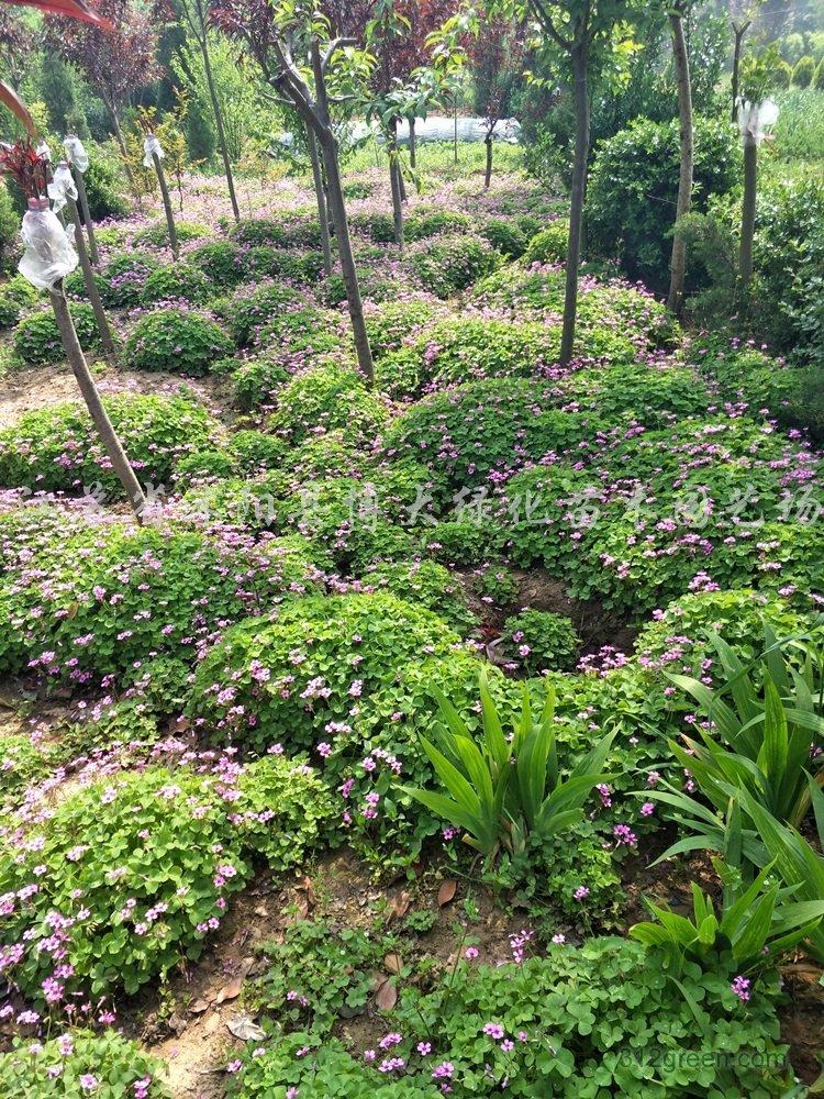 供应红花酢浆草、红花草、红花醡浆草
