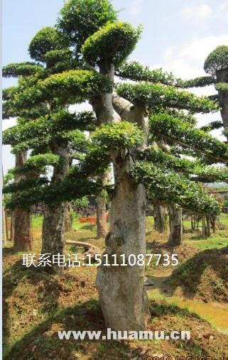 湖南造型榆树  湖南榆树造型  湖南大型造型榆树基地