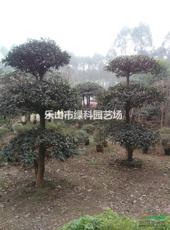 四川乐山供应法国冬青造形树