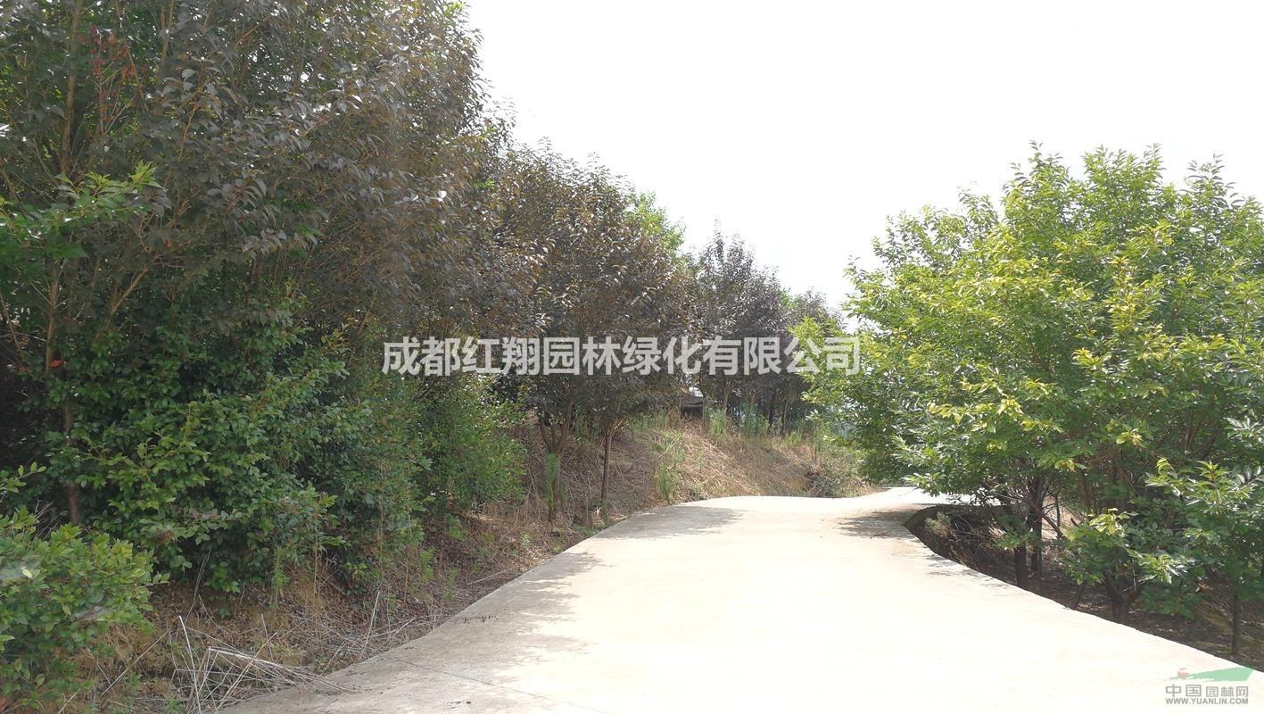 红叶樱花、红叶樱花销售 、贵州红叶樱花、贵州高杆红叶樱花